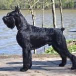 Ризеншнауцер щенки чёрного окраса, Кемерово