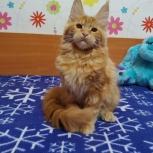 Солнечные котята Мейн-кунчиков, Кемерово