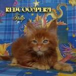 Котёнок мейн кун красный. Шоу класс. Питомник, Кемерово