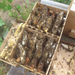 Пчёлы. Пчелопакеты, Кемерово