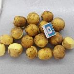 Картофель семенной сорт Тулеевский 1-ая репродукция, Кемерово