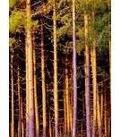 Куплю лес на корню, Кемерово