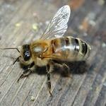 Пчелопакеты 2020 Карпатка.  Бесплатная доставка по России, Кемерово